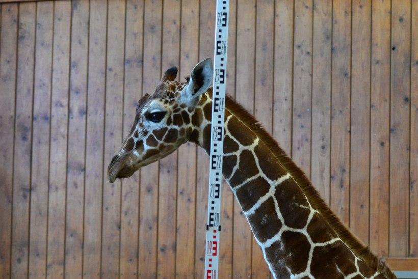 FOTOD | Kuidas mõõta kaelkirjaku kõrgust?