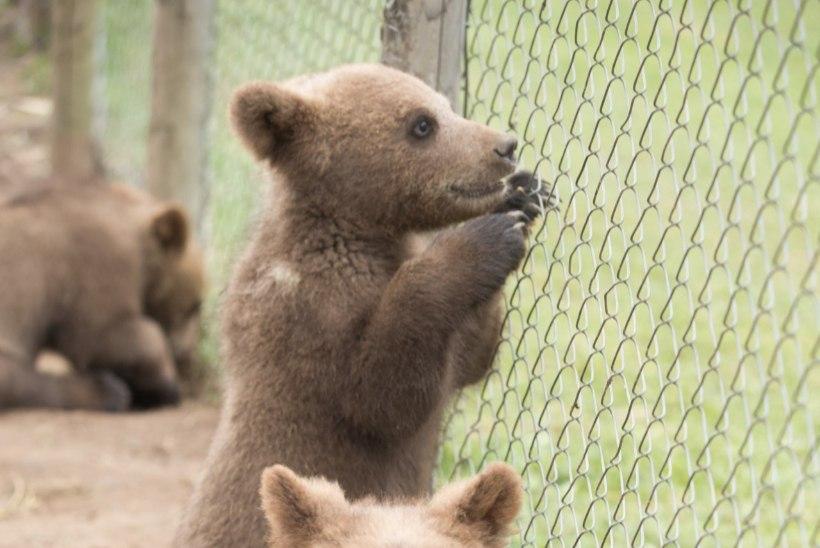 Alaveski loomapargi aiasõda võib viia pargi sulgemise ja kõigi selle asukate hukkamiseni