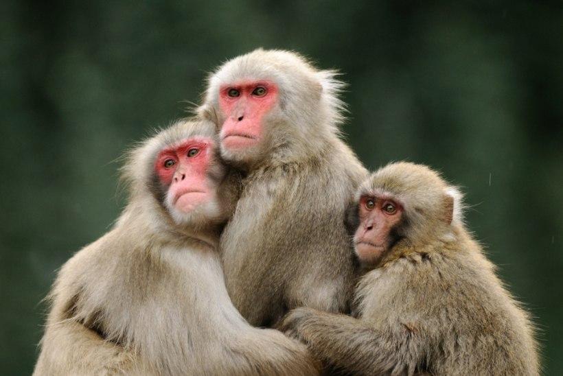 Uued uuringud: ahvist tegid inimese alkohol ja rusikad