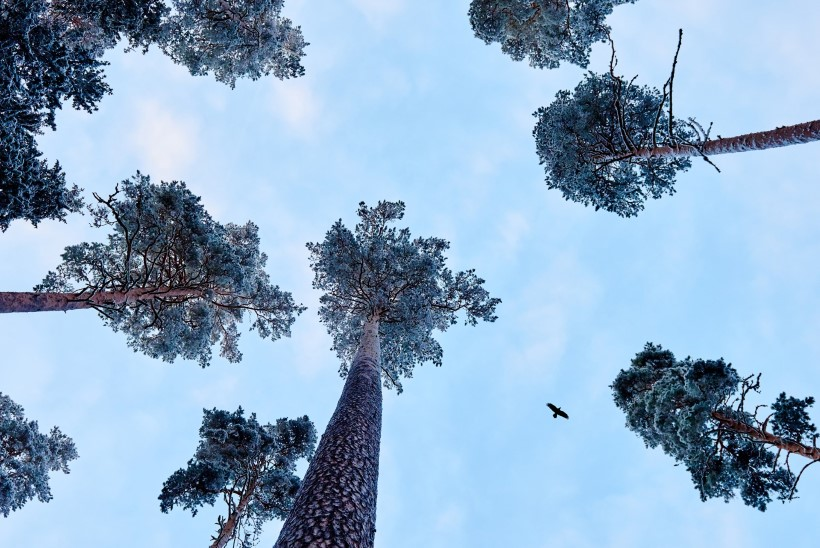 FOTOD JA VIDEO   Eestis kasvab maailma kõrgeim mänd