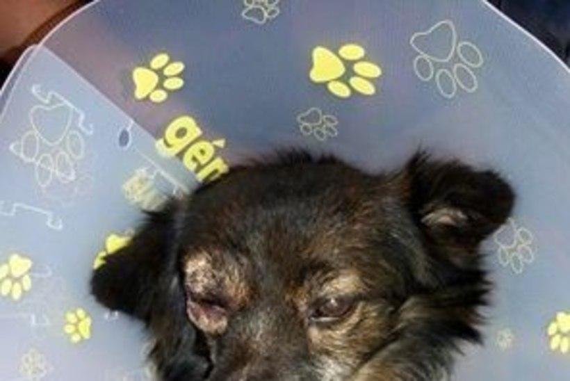 Pärnumaal löödi koer ühest silmast pimedaks