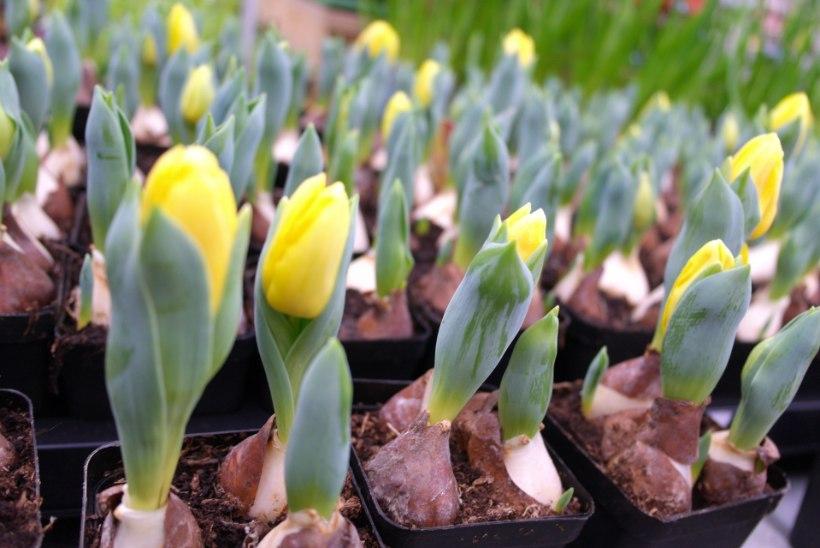RÕÕM KEVADEST | Ammuta ideid, kuidas lilledega oma kodu ja aed kaunimaks muuta!