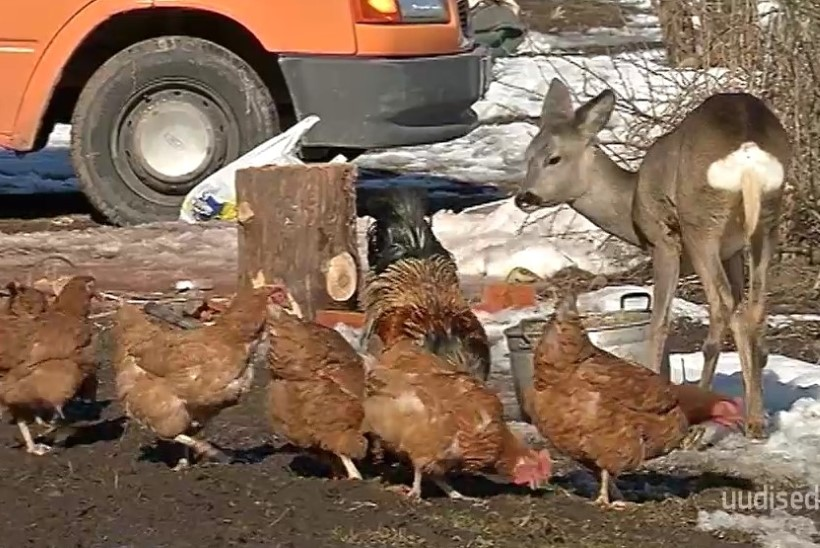 TV3 VIDEO   Uskumatu lugu! Viljandimaa pere juures elab metskits: käib koerakuudis magamas ja sööb koos kanadega
