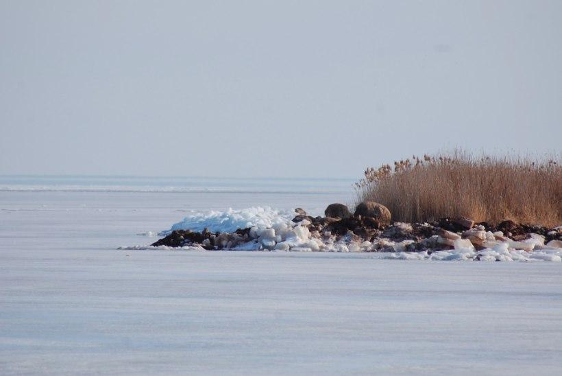 LOODUSE IME: Peipsi rannas kõrguvad rüsijäämäed