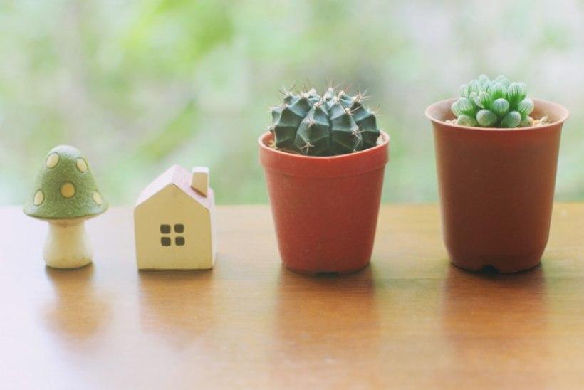 Kuidas kaktust ümber istutada?