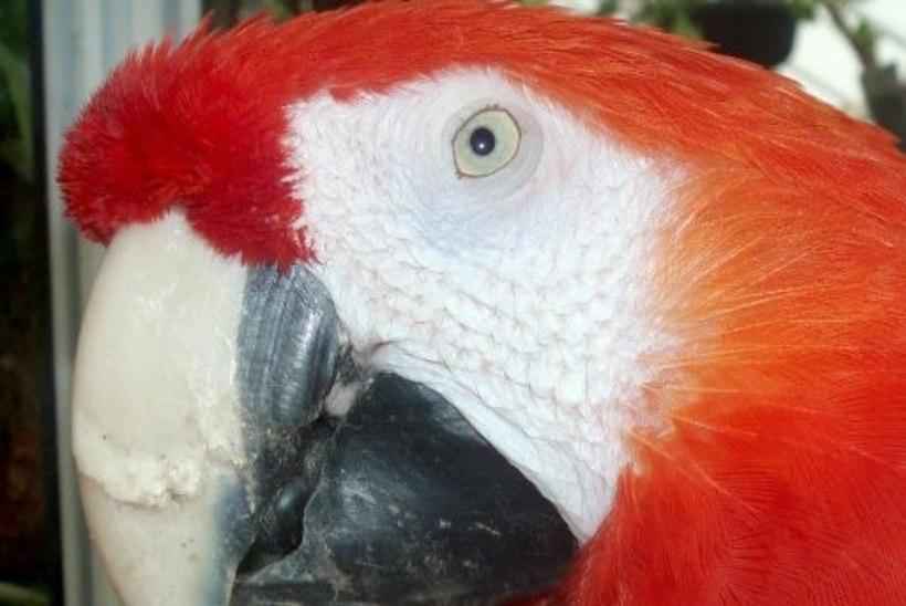 SKANDAAL: Pipi Pikksuka papagoid ähvardab surmaotsus