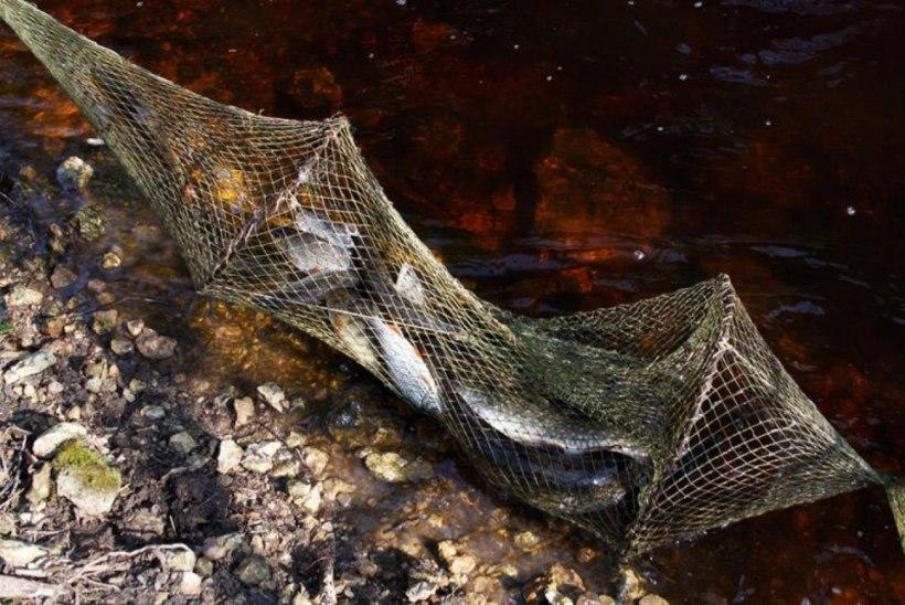 Keskkonnainspektsioon tugevdab kalade kudeajal järelevalvet