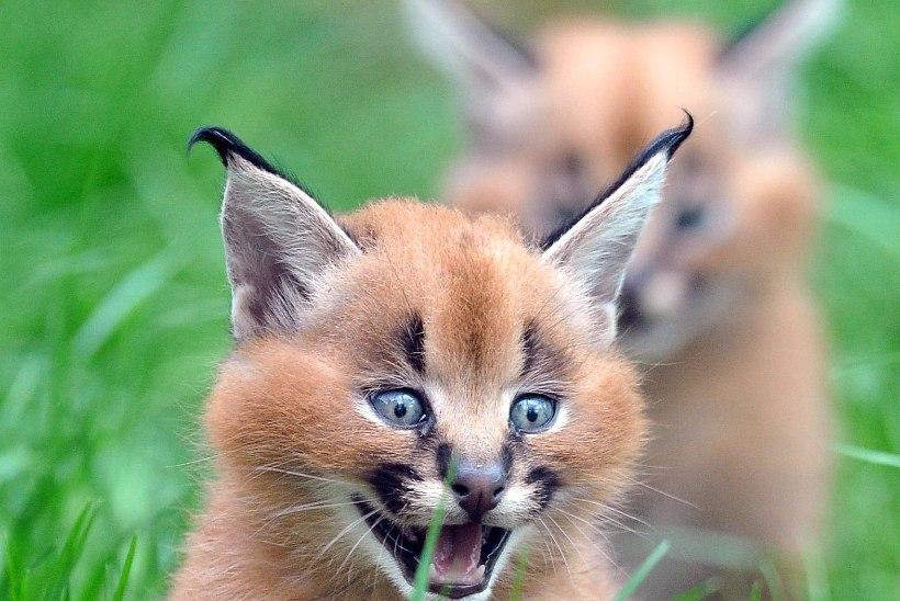 SUUR KIISUGALERII | Lõvipojad, pisikesed pantrikud ja teised loomad