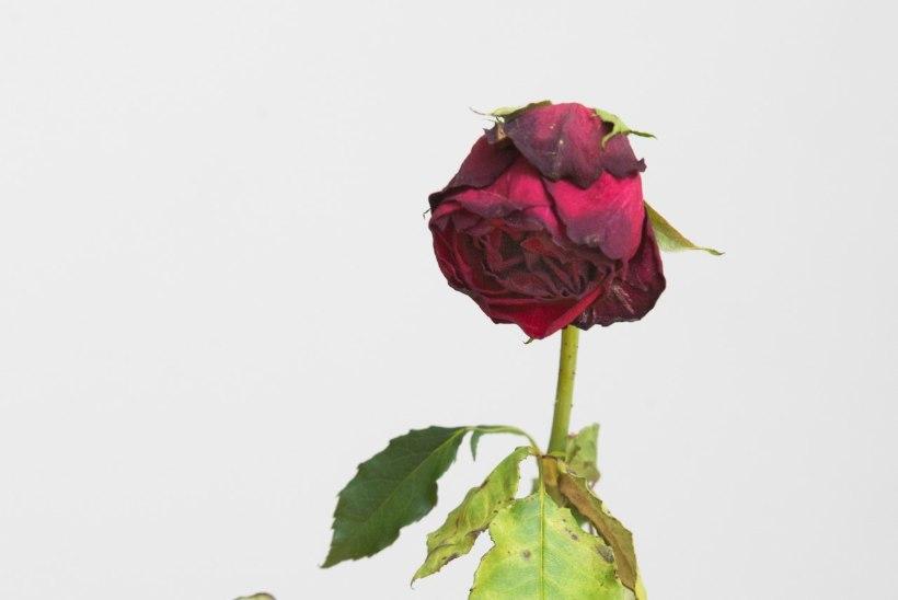 Roos armastab ikkagi puhast vett, mitte rahvasuus soovitatud keemiat
