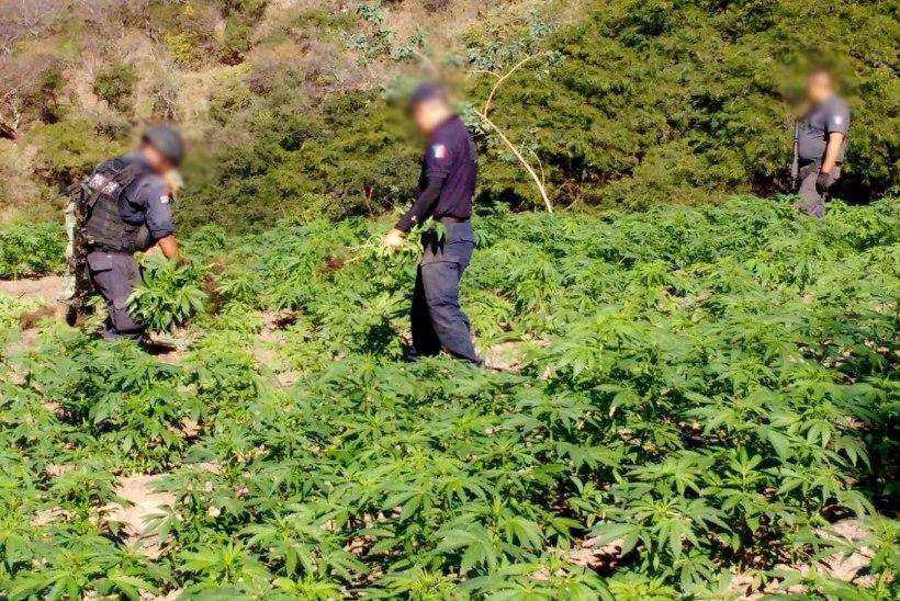 Mehhiko kaalub kanepi legaliseerimist ravieesmärgil