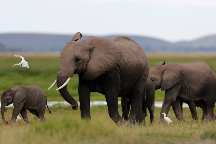 Aafrika elevant on väljasuremisohus - aastas tapetakse üle 30 000 looma