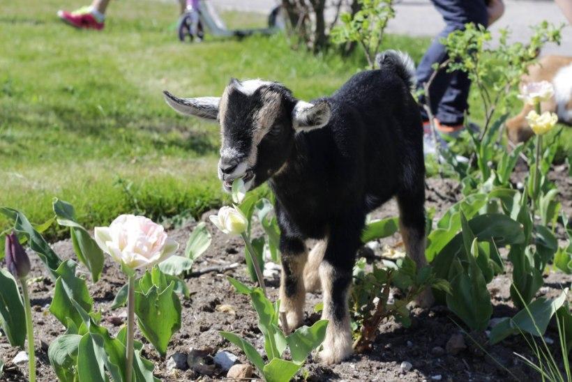 FOTOD | Loomaaias lasid kitsed aedikust jalga ja asusid lillepeenral maiustama