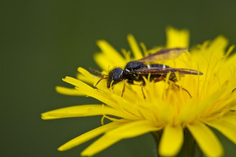 ESMAABI ABC: Mida teha mesilase või herilase hammustuse korral?