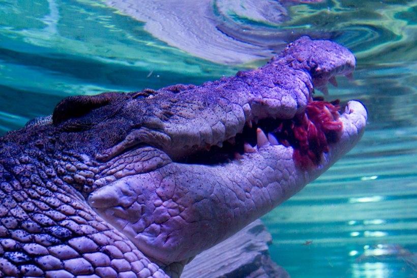 Krokodillid ründasid kaluripaati