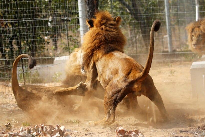 Alasti enesetapja heitis end inimeste silme all lõvidele söödaks