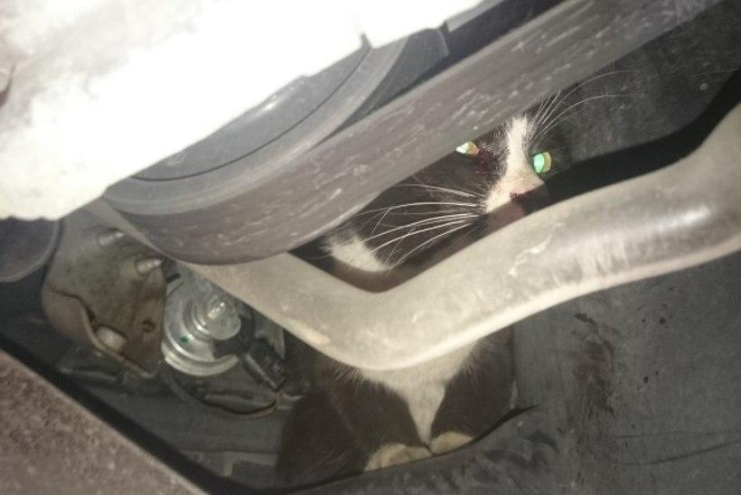 Kass sõitis 30 km mootori vahel ja jäi ellu