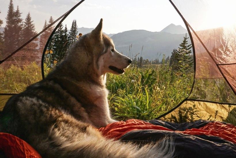 Reisivad lemmikloomad: mägironimist harrastav kiisu ja matkasellist hundikoer