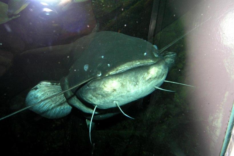 Arvo Tuvikene: Kalade maitsmismeelest ja maitse-eelistustest I