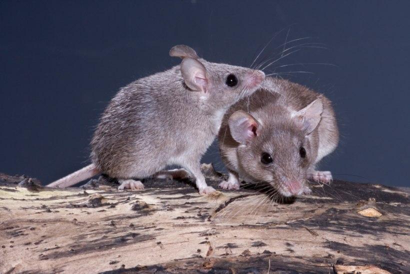 Avastati hiireliik, kelle emastel esineb kuupuhastus