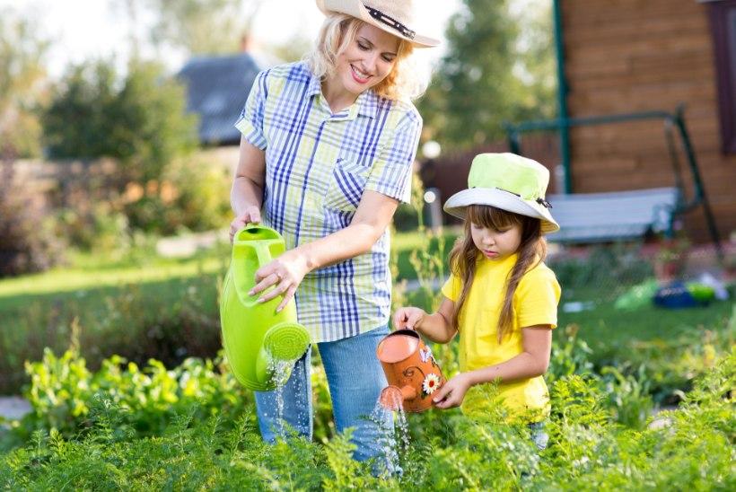 Arukas kastmine aitab aial põuale vastu panna