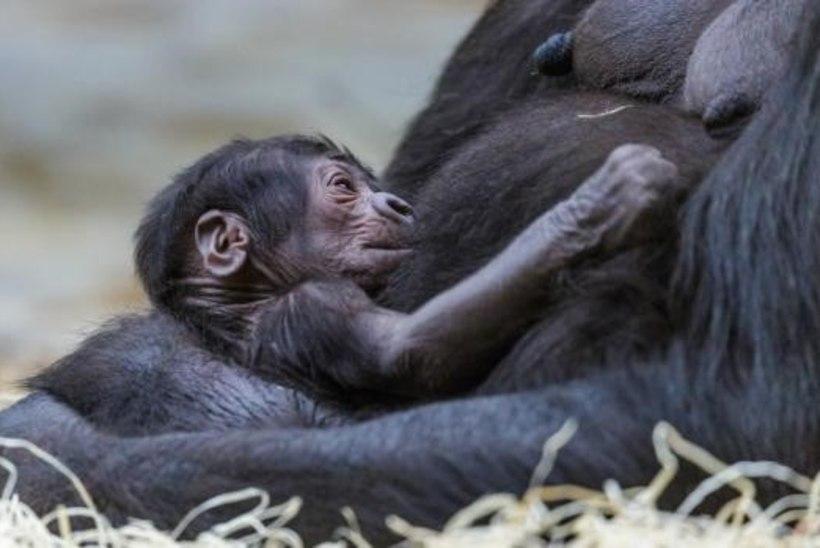 Ootamatult sündinud gorillabeebi sai nimeks Üllatus