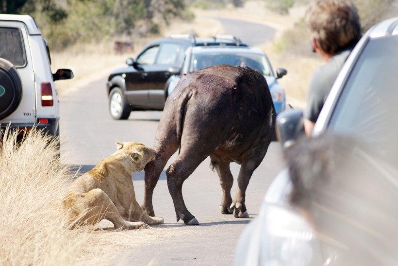 Kuidas riik reisifirma pankroti tõttu ära jäänud safarireisid kinni maksis