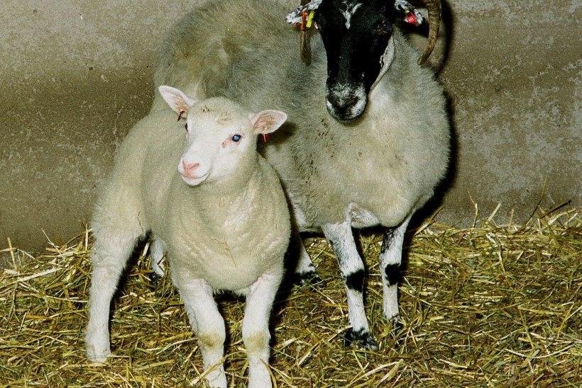 Hallo, Dolly! Udararakust kloonitud lammas sai nime rinnaka kantritähe järgi