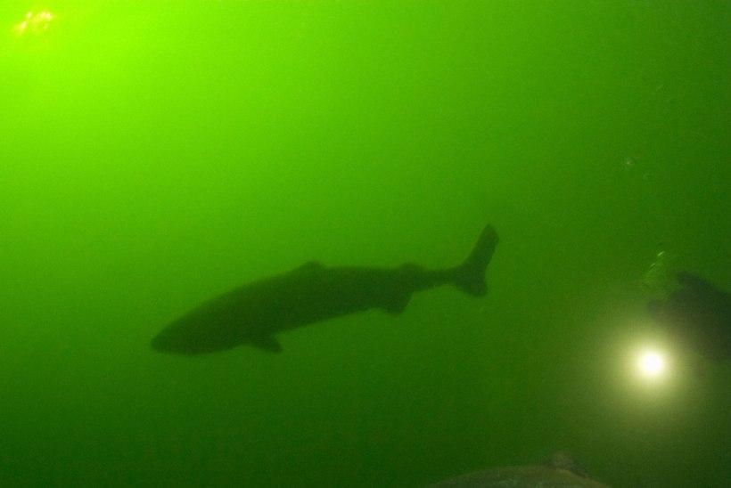 IGILIIKUR: Atlandi polaarhai elab meist neli korda kauem