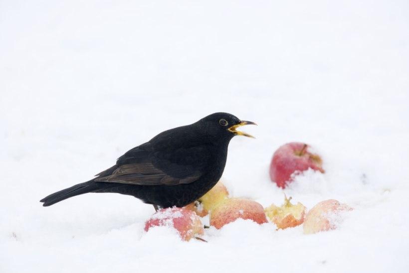 Ornitoloogid: lindude järgi krõbedat talve ennustada ei saa