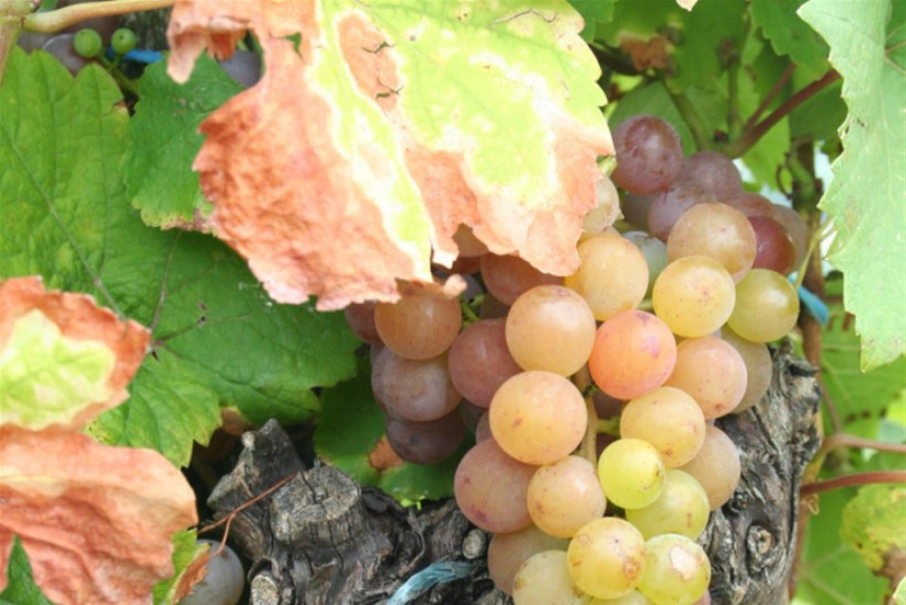 VIDEO: Kuidas valmib valge vein?