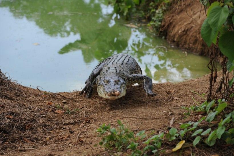 VIDEO   Koolimajja lasti lahti kolm krokodilli