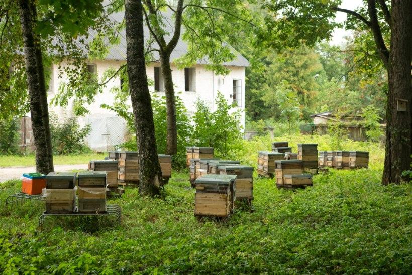 Ebavere elanikke taevast pommitanud kollane ollus osutus mesilaste väljeheideteks
