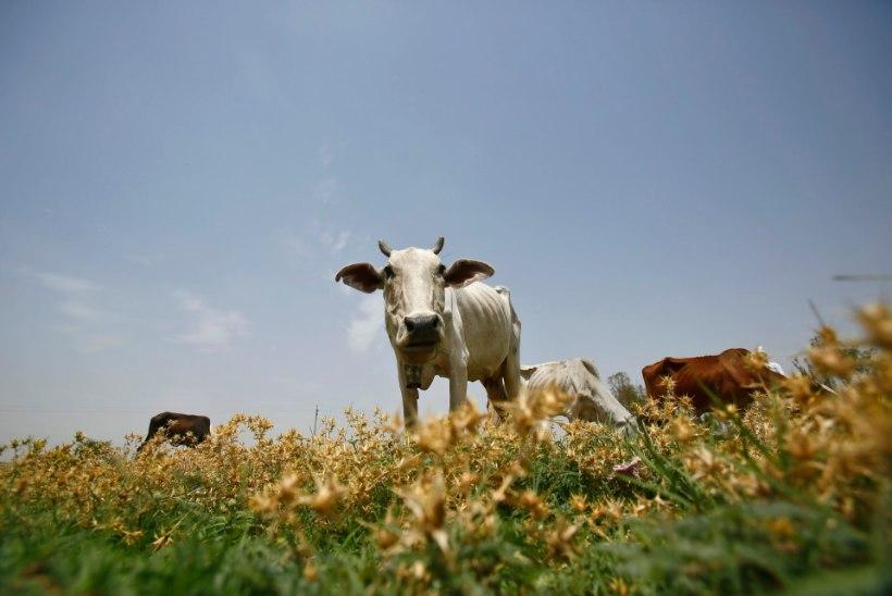 Indias vägistati mosleminaine, keda süüdistati veiseliha söömises