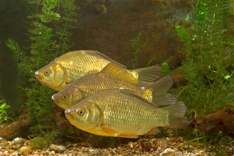 Arvo Tuvikene: kui hästi kalad kuulevad?