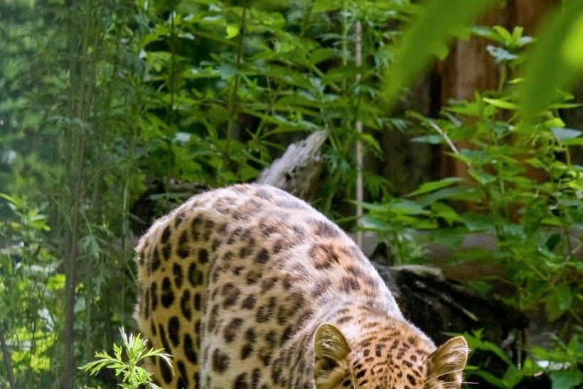 Suri Freddi – 13 Amuuri leopardi isa