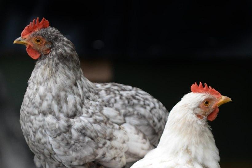 Kuidas kanast kodulind sai
