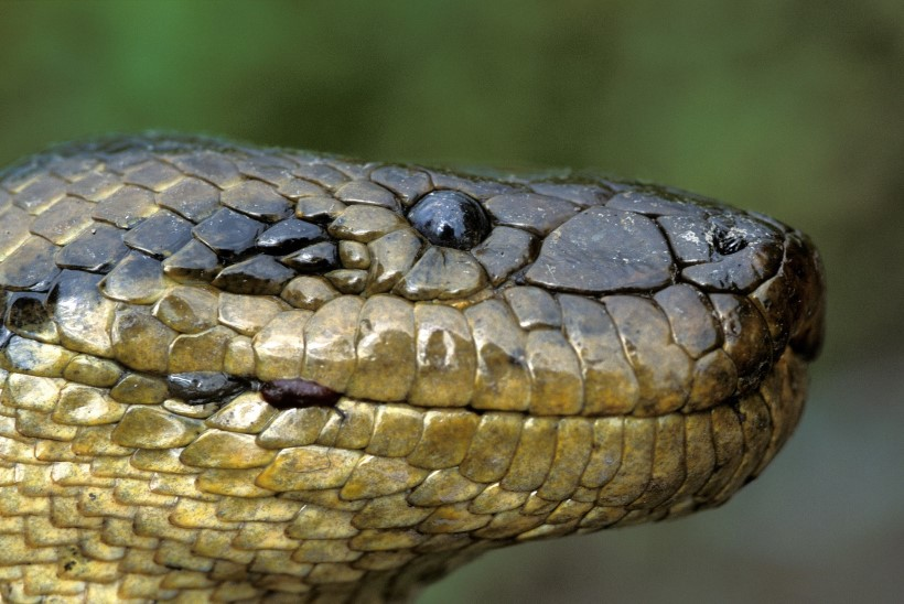 VIDEO | Brasiilias tapeti 10meetrine anakonda