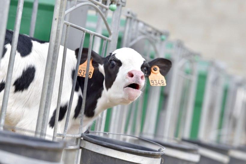 KURB LUGU: Prantsusmaal sõid lehmad end surnuks