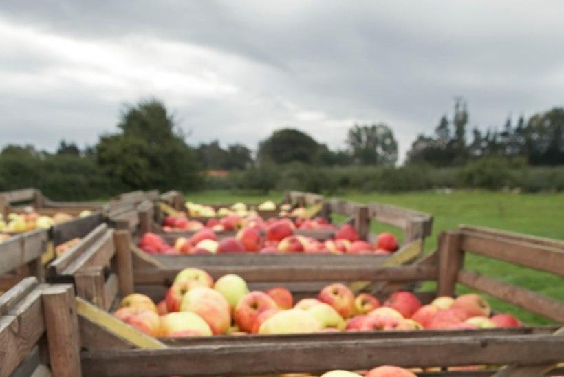 Õunauputus ajab hulluks! Valmista nendest näomask!