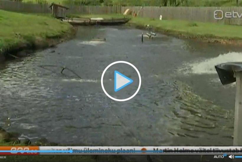 Paisu taastanud maaomanik jättis kalakasvatuse kuivale