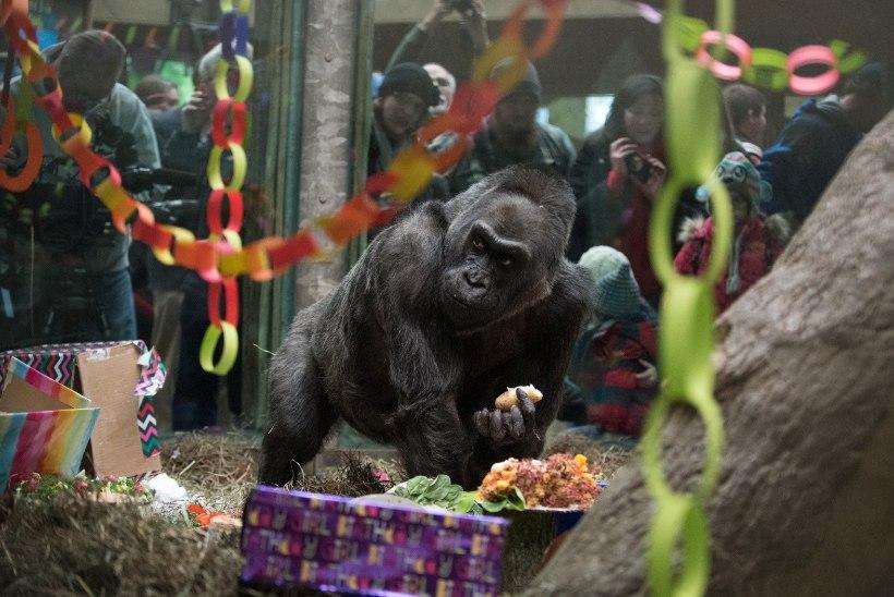 Maailma vanim gorilla suri 60aastasena