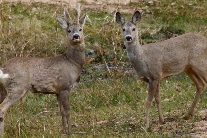 Metskits on Eesti maastikust ja elust lahutamatu loom