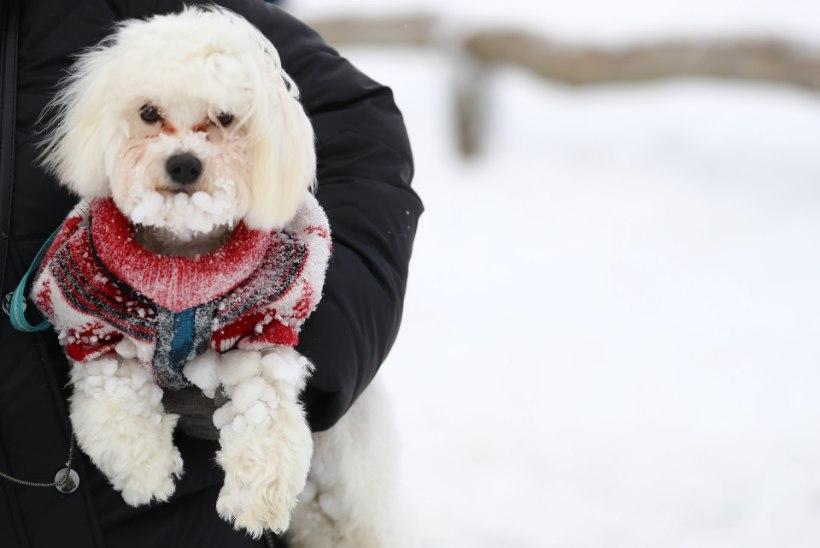 Omanikud jätsid koera lennujaama lähedale surnuks külmuma ja sõitsid ise puhkusereisile