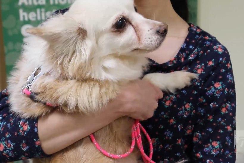ÕHTULEHE VIDEO | KODUOTSIJA: Armas vanaproua Suusi pääses surmasuust ning otsib armastavat omanikku