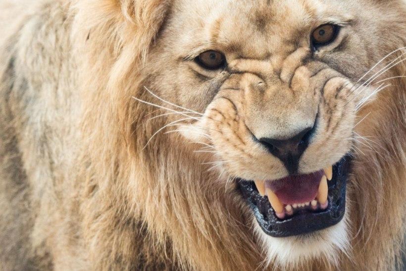 VIDEO | Vaata, kuidas lõvi fotograafi kaamera ära sööb