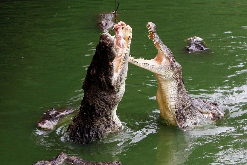 Selfi krokodilliga lõppes kurvalt