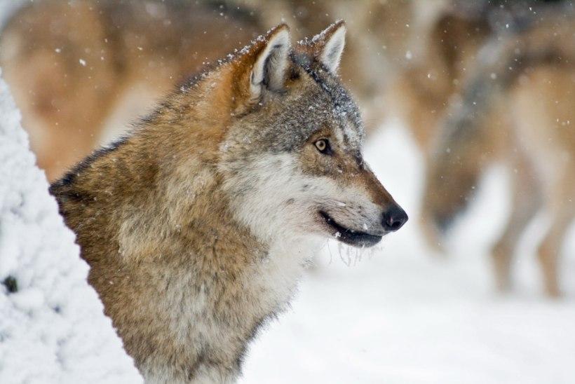 TV3 VIDEO | ETTEVAATUST! Hundid murravad Tartumaal koduloomi