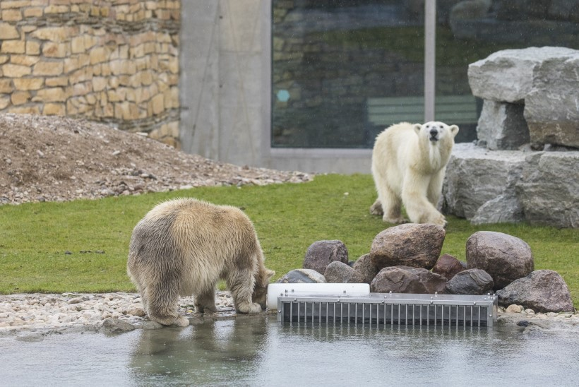 Jääkarupoeg pole siiani veel ujumas käinud