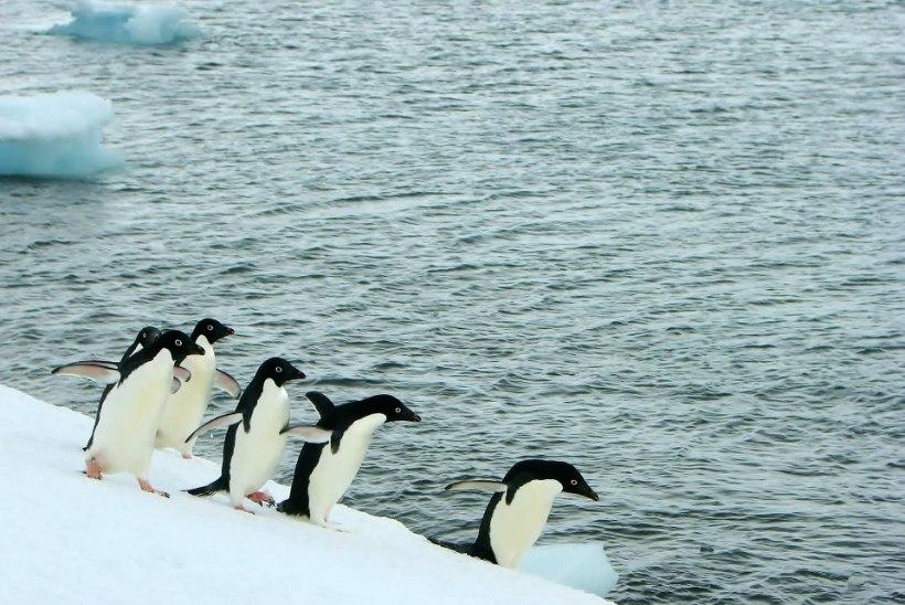 Tuhanded pingviinipojad surid nälga