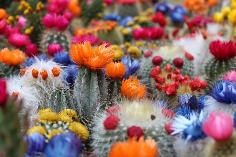 Kuidas hoolitseda kaktuse eest nii, et taim läheks õide?